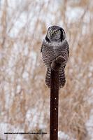 Northern Hawk Owl with kill