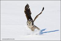 Northern Hawk Owl catching prey
