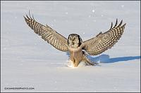 Northern Hawk Owl landing on prey