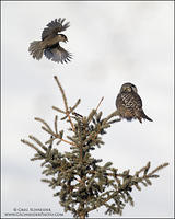 Northern Hawk Owl harassed by Canada Jay
