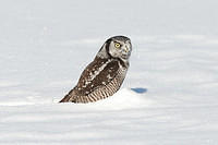 Northern Hawk Owl on kill in the snow