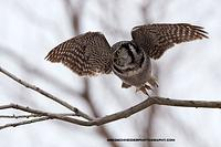 Northern Hawk Owl takeoff