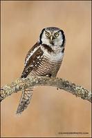 Northern Hawk Owl (7854)