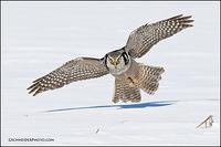 Northern Hawk Owl in flight