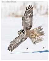 Northern Hawk Owl flying