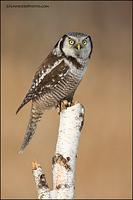 Northern Hawk Owl perched on stump