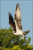 Osprey taking off with fish remains