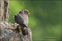Peregrine falcon (adult) with prey