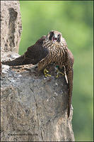 Peregrine falcon juvenile with prey
