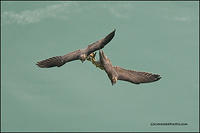 Peregrine Falcons with prey