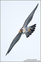 Peregrine Falcon (adult) bank