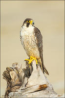 Peregrine Falcon on driftwood