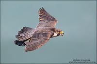 Peregrine Falcon with pigeon prey