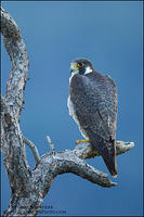 Perched adult Peregrine Falcon