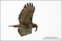 Red-Tailed Hawk in flight with vole