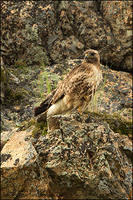 Western Red-tailed Hawk perched on rocky cliff