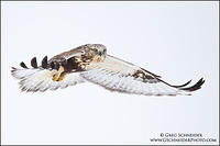 Juvenile Rough-legged Hawk (light morph) hovering