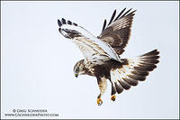 Rough-legged Hawk (juvenile) hovering