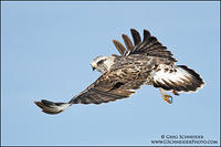Rough-Legged Hawk banking, looking over shoulder