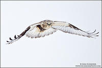 Juvenile Rough-legged Hawk flying head on