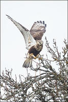 Rough-legged Hawk landing balance