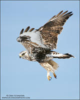 Rough-legged Hawk flying with talons dangling