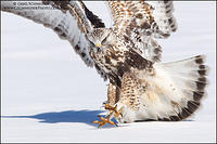 Rough-legged Hawk landing on snow