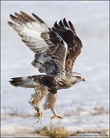 Rough-legged Hawk with vole prey