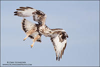 Rough-Legged Hawk actively hunting