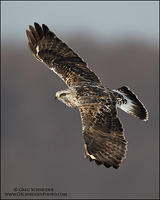 Rough-legged Hawk banking