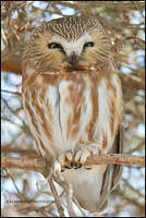 Northern Saw-Whet Owl relaxed pose