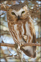 Northern Saw-Whet Owl stare