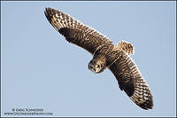 Short-eared Owl banking topside view