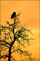 Short-eared Owl in tree at sunset