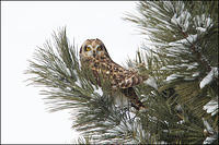 Short-eared Owl perched in snow-covered tree
