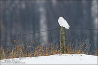 Adult male Snowy Owl on fencepost