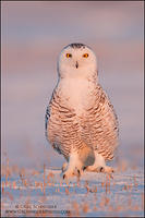 Female Snowy Owl alert pose at sunset