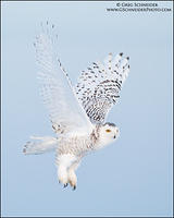 Snowy Owl takeoff against sunset sky (vertical)