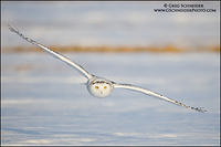Snowy Owl incoming