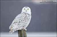 Snowy Owl perched on fencepost