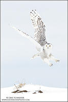 Snowy Owl taking off from snowy field