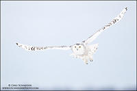 Snowy Owl soaring above trees