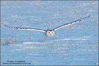 Snowy Owl flying low over field at sunset