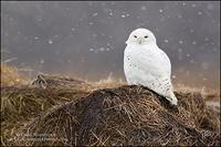 Snowy Owl on hay bale