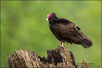 Turkey Vulture perched on tree stump