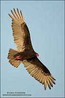 Turkey Vulture banking