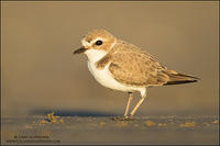 Snowy Plover at sunset