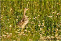 Upland Sandpiper perched in typical field habitat