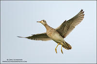 Upland Sandpiper flying with wings flared