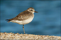 Black-bellied Plover - winter plumage
